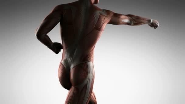 menschlichen Muskel-Anatomie — Stockvideo © icetray #128439772