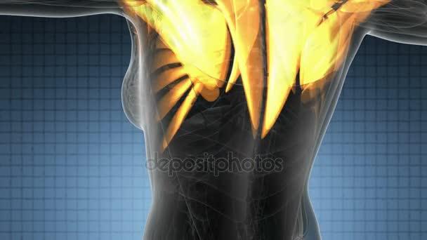 exploración del sistema muscular humano — Vídeo de stock © icetray ...