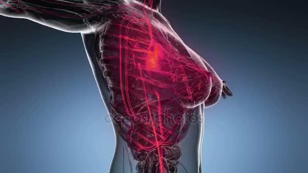 Iets Nieuws lus science anatomie scan van vrouw hart en bloedvaten gloeien #LZ97
