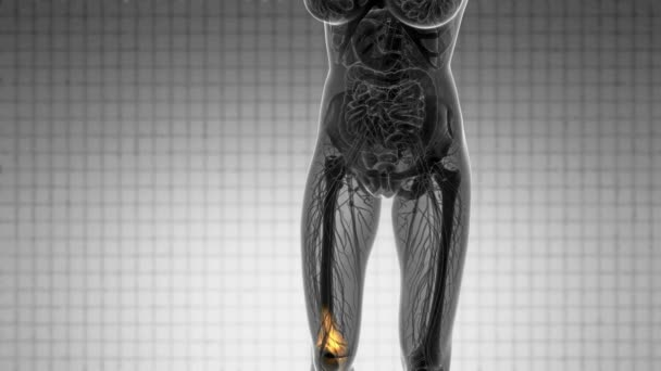 Knie Knochen Anatomie — Stockvideo © icetray #170558586