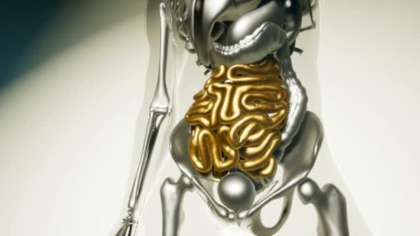 lidská střeva model se všemi orgány a kosti