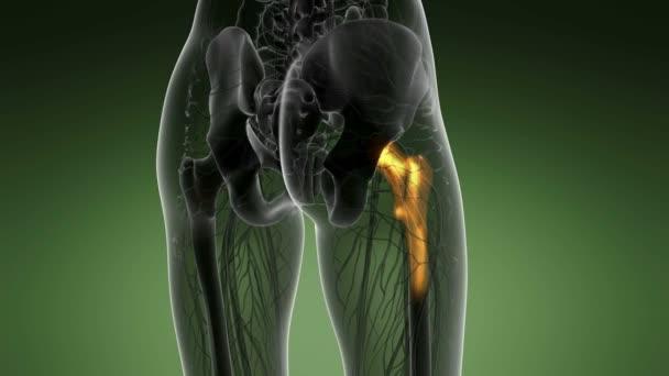 Hüftknochen Anatomie medizinische scan — Stockvideo © icetray #171451254