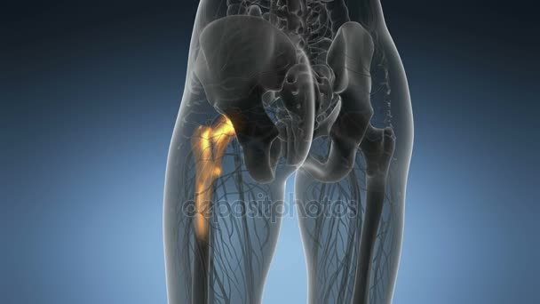 Hüftknochen Anatomie medizinische scan — Stockvideo © icetray #171451268