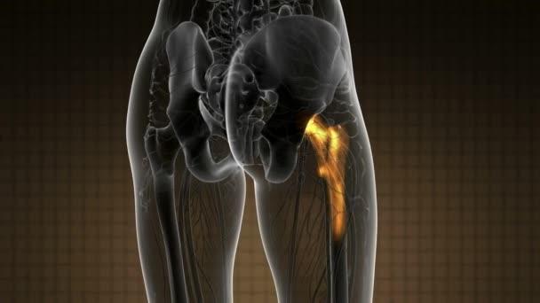 exploración médica de la anatomía de huesos de la cadera — Vídeos de ...