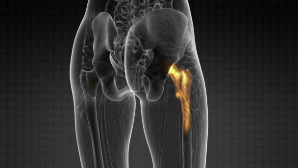 Esplorazione medica di anatomia ossa dellanca