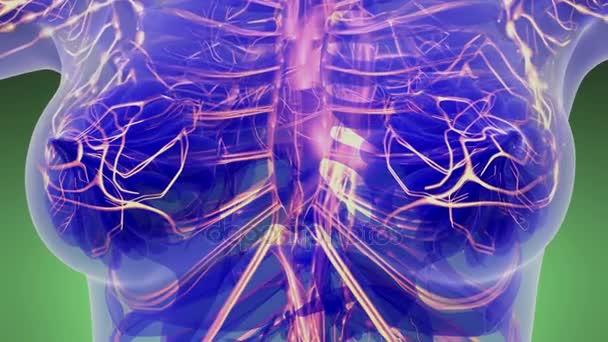Wissenschaft Anatomie-Scan des weiblichen Herzens und glühender Blutgefäße