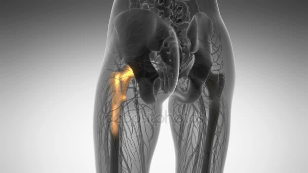 exploración médica de la anatomía de huesos de la cadera — Vídeo de ...