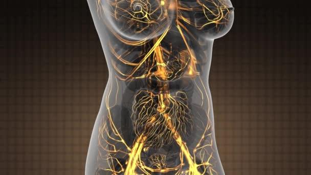 exploración de la anatomía de ciencia de mujer corazón y los vasos ...