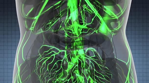 Věda anatomie skenování žena srdce a cév, zářící