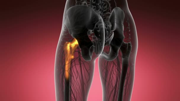 Hüftknochen Anatomie medizinische scan — Stockvideo © icetray #183350736