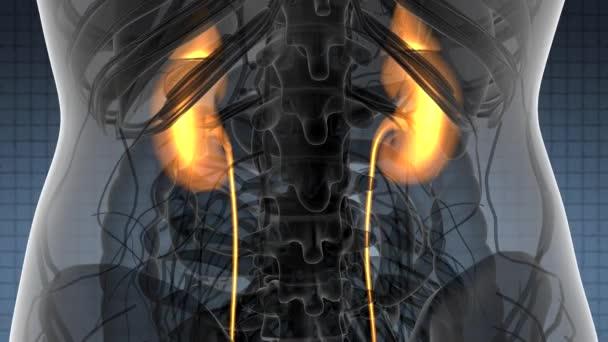 Věda prohledání anatomie lidské ledviny zářící
