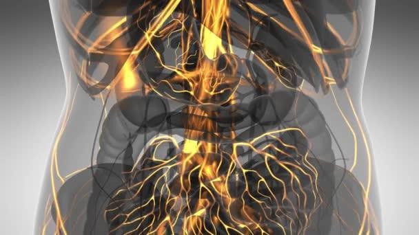 Wissenschaft Anatomie Scan von Frau Herz und Blutgefäße, die glühende