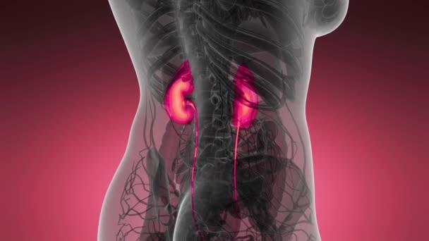 Ciencia anatomía exploración de riñones humanos que brilla ...
