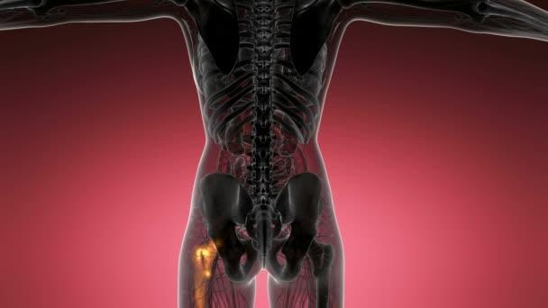 Hip Bones Anatomy Medical Scan Stock Video Icetray 191414390