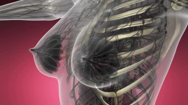 Anatomia di scienza del corpo umano nei raggi x con le ossa dello scheletro