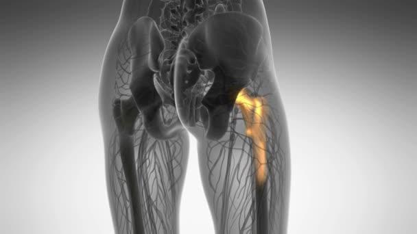 Hüftknochen Anatomie medizinische scan — Stockvideo © icetray #192890396