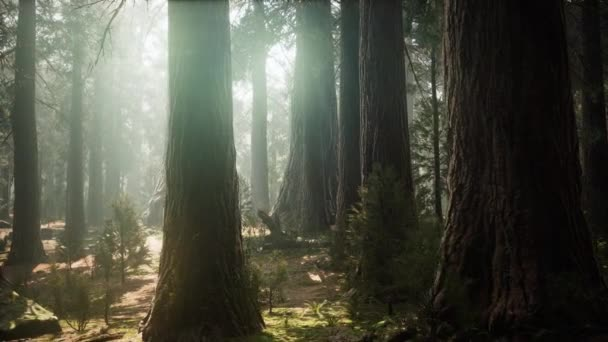 Sunrise in the Sequoias, General Grant Grove, Sequoia National Park