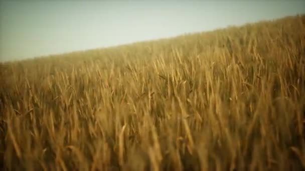 Ripe yellow rye field under beautiful summer sunset sky with clouds