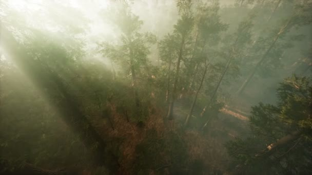 Drone breaking through the fog to show redwood and pine tree