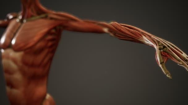 svalový systém animace lidského těla