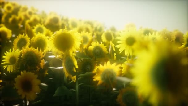 8k Sunflowers blooming in Late Summer