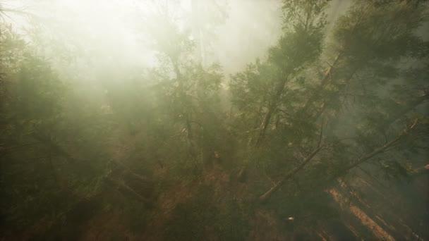 Dron prolamuje mlhu, aby ukázal sekvoje a borovici