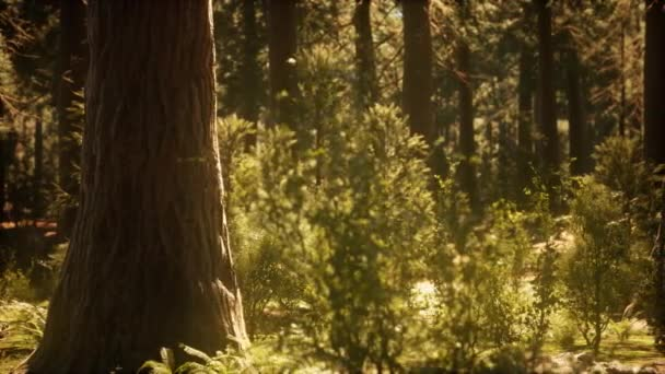 hyperlapse in sequoia erdő napkeltétől