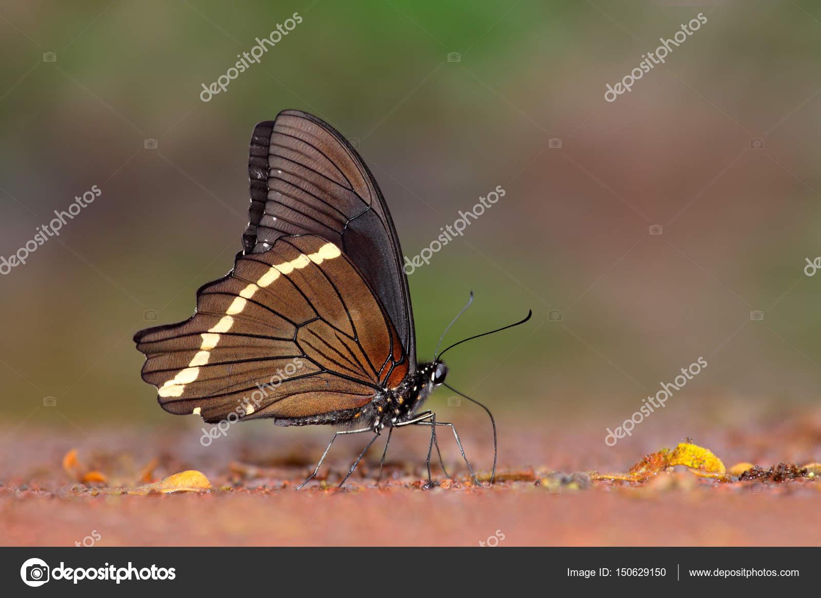 Futterung Der Schwalbenschwanz Schmetterling Stockfoto C Ecopic