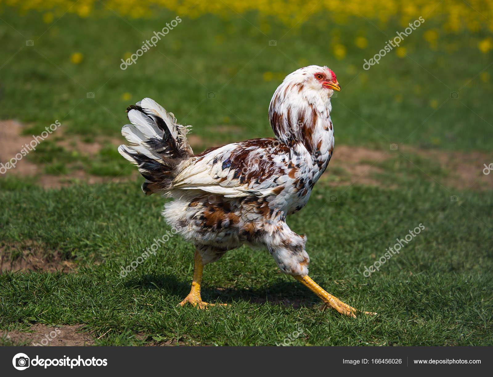 Μεγάλο χαλαρό κόκορας φωτογραφίες