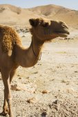 Photo camel , summer day