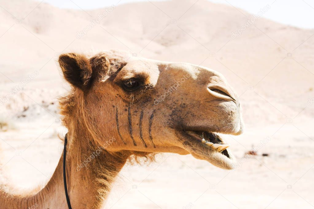 camel outdoor, in dessert, animal and nature concept