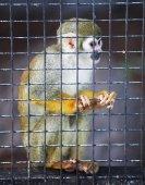 Fotografie Squirrel monkey in zoo
