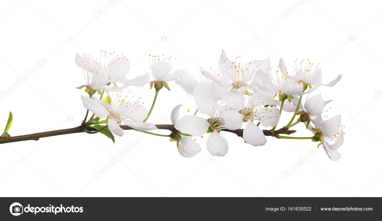 Cherry Tree With Isolated Large White Flowers Stock Photo Drs