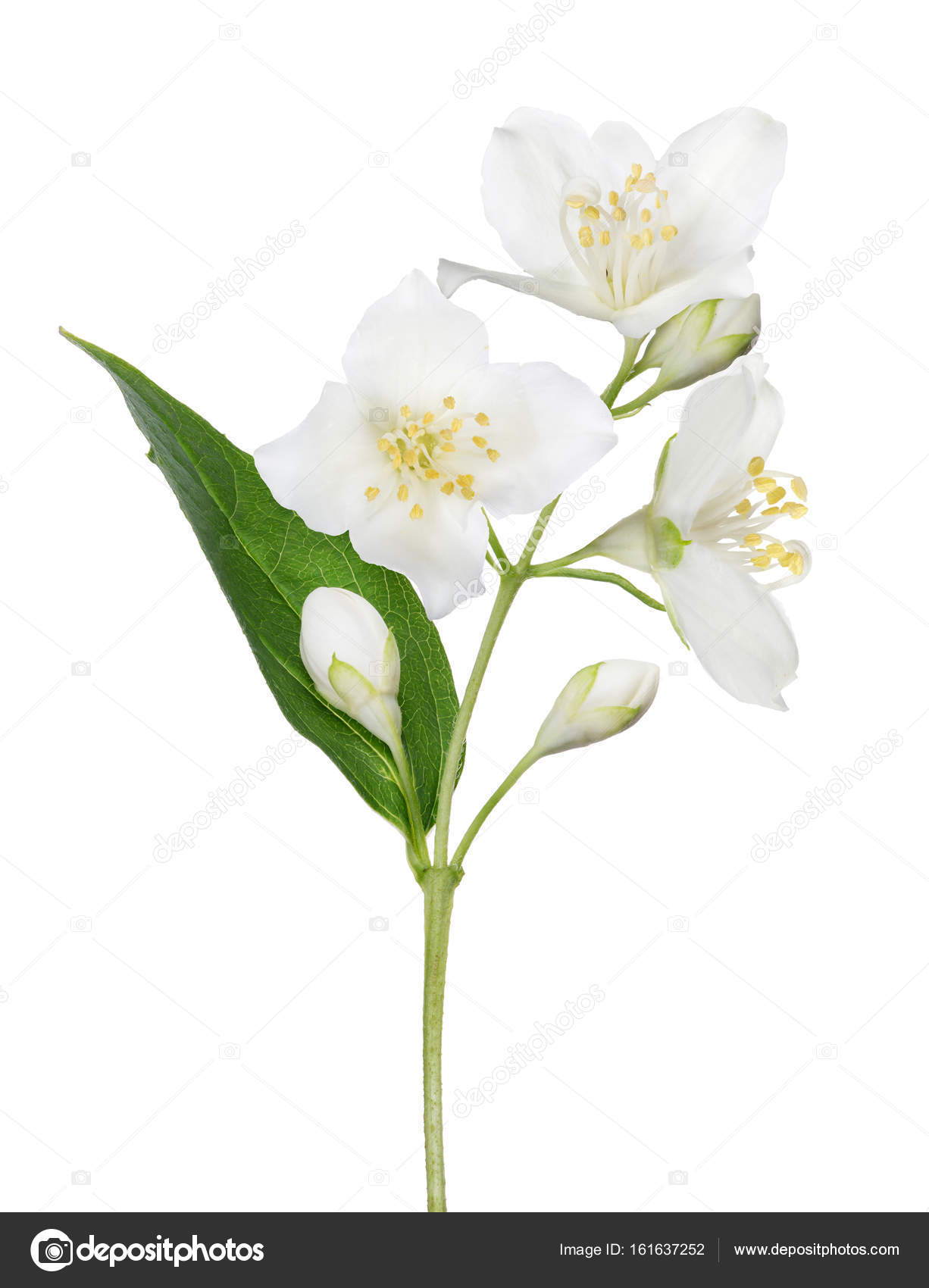 Isolated Jasmine Branch With Single Leaf Stock Photo Drs
