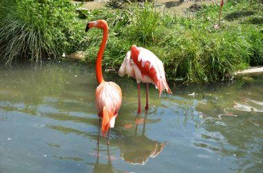 Caribbean flamingos in river