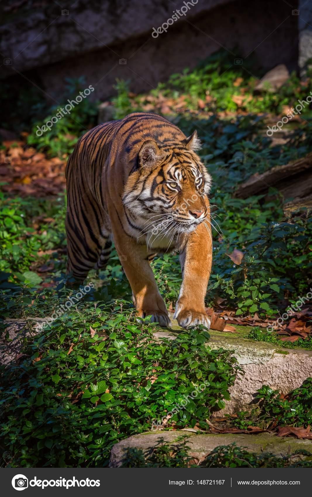 バルセロナ動物園アジアの虎 — ...