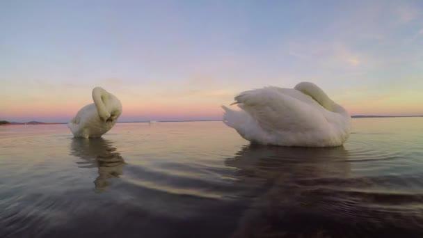 Két hattyú a Balaton, Magyarország