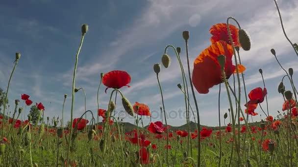 gebied van rode papaver bloemen in de vroege zomer