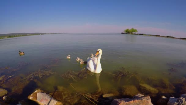 Zblízka labuť rodiny