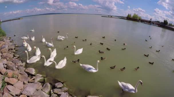 Hattyúk és vadkacsa a Balaton (város), Magyarország