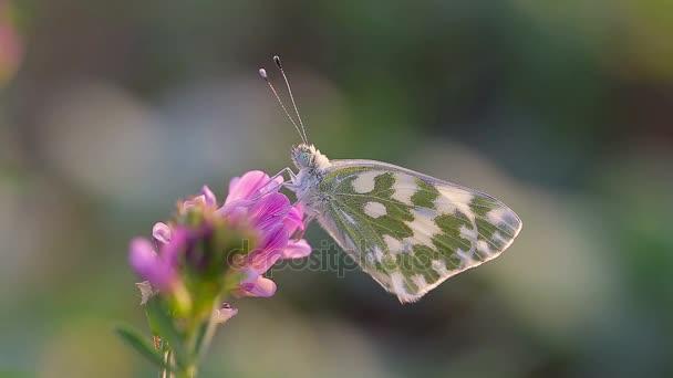 Kis pillangó a virág közelről