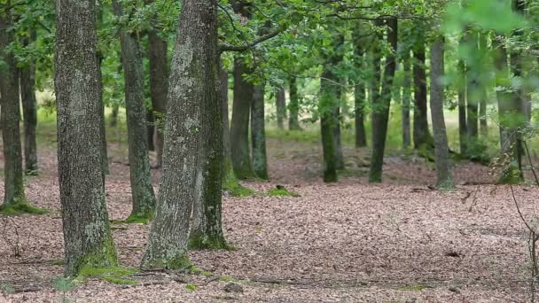 Green forest with oak trees from Hungary