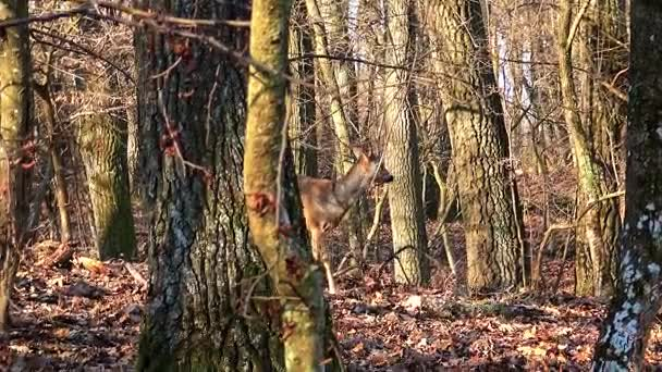 Young doe in the autumn oak forest in a sunny day, Roe deer (Capreolus capreolus) in 4k