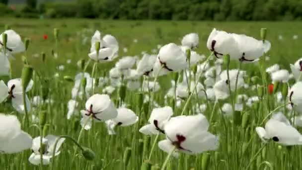 White poppy flowers field spring time stock video digoarpi white poppy flowers field spring time stock video mightylinksfo