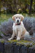 Kráska Zlatý retrívr štěně pes v zahradě
