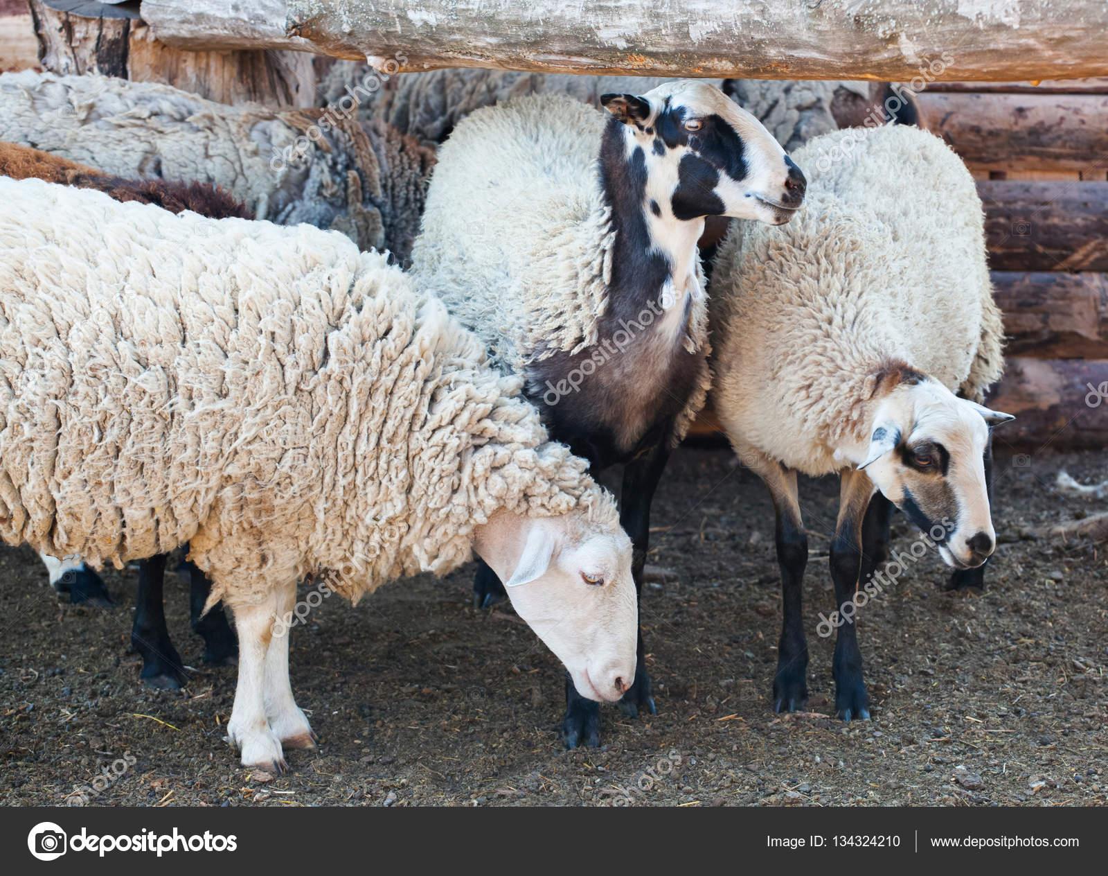 Uitzonderlijk kudde schapen uit corral voor het vee in de weide. Fokken van  EN51
