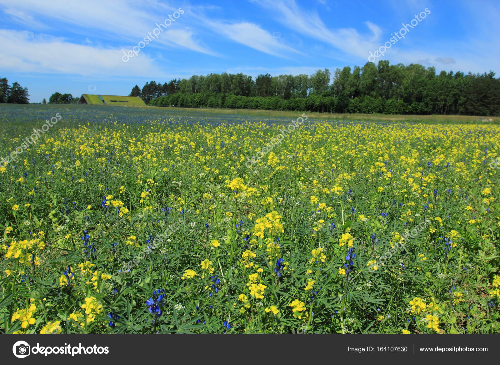 Blooming Crops In Summer Season Stock Photo Bogdanwankowicz