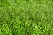 Green grass background after rain