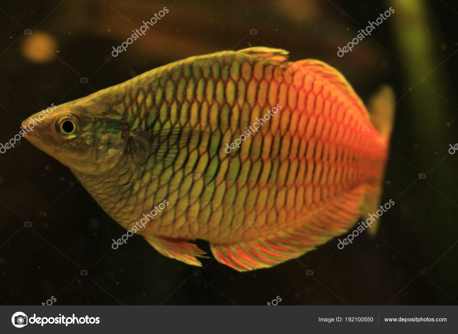 Honey Gourami Fish Stock Photo C Portosabbia 192100550