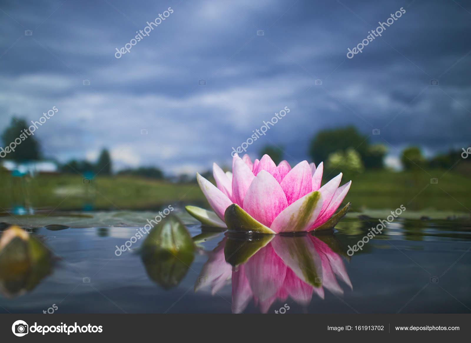 Lotus Flower In Pond Stock Photo Strelok 161913702